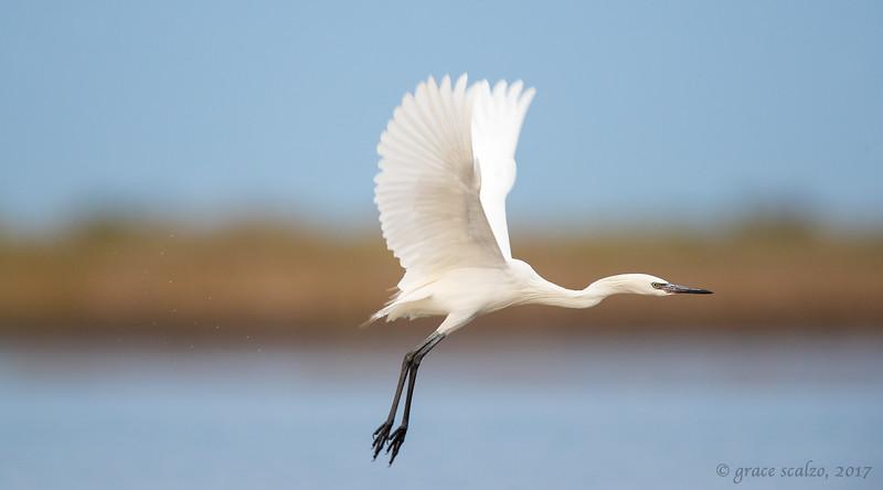 Reddish egret lift off - White morph