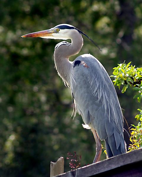 Richard Adler  - Gray Heron - Rancho San Antonio Open Space PreserveCategory: Wildlife