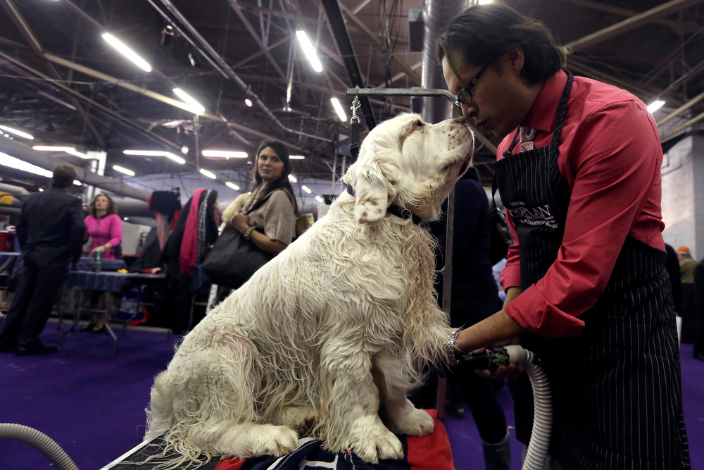 Description of . Gustavo Jimenez grooms 3-year-old Clumber Spaniel Seymor during the 137th Westminster Kennel Club dog show, Monday, Feb. 11, 2013, in New York. (AP Photo/Mary Altaffer)