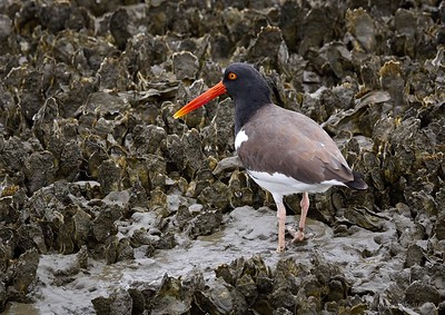 Birds of Cape Romain NWR, SC