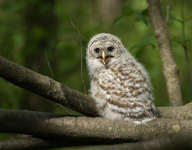 Barred Owls 2020