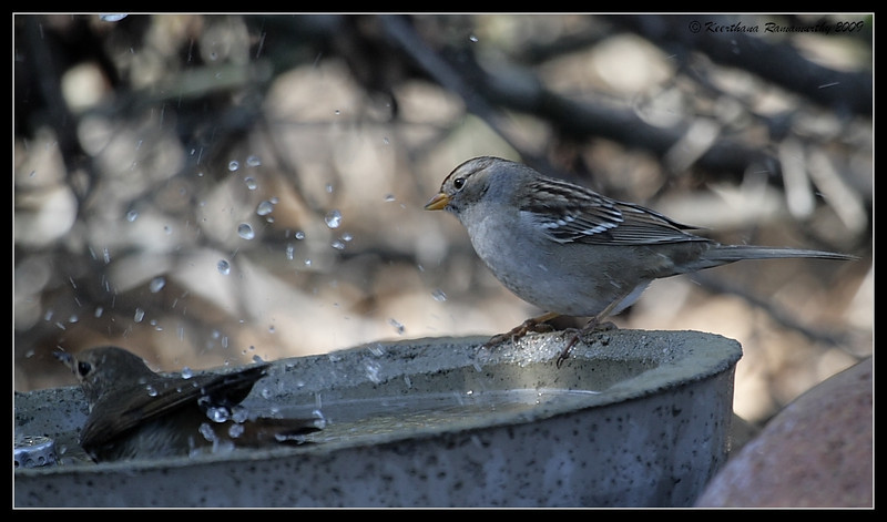 White-crowned sparrow Juvenile splashed by Hermit Thrush, The Drip, Cabrillo National Monument, San Diego County, California, November 2009