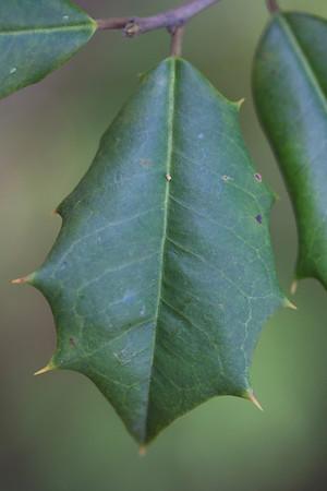 Ilex opaca (Aquifoliaceae)
