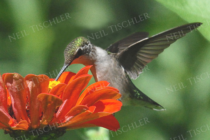#948  A ruby throated hummingbird perched on an orange zinnia petal