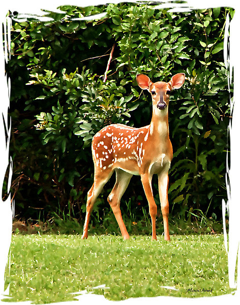 fawn1-copysweetlight-copy.jpg