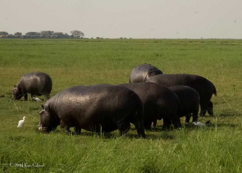 Hippos K-3.jpg