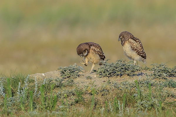 7-11-15 Burrowing Owls Part II