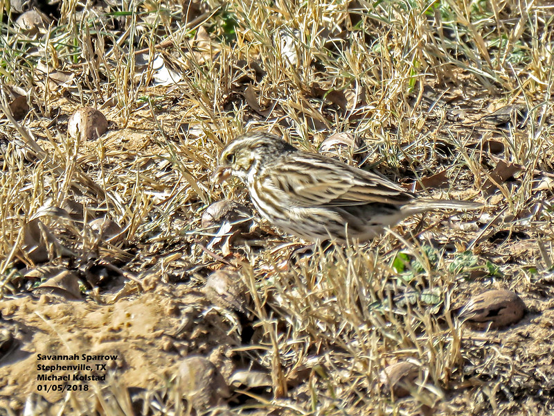 IMG_9290 3T Savannah Sparrow Stephenville 105 1415.jpg