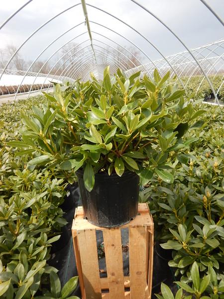 Rhododendron c. 'Cunningham's White' #3.jpg