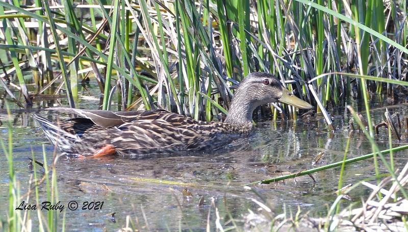 Duck, not sure on species yet  - 2/22/2021 - Poway Creek