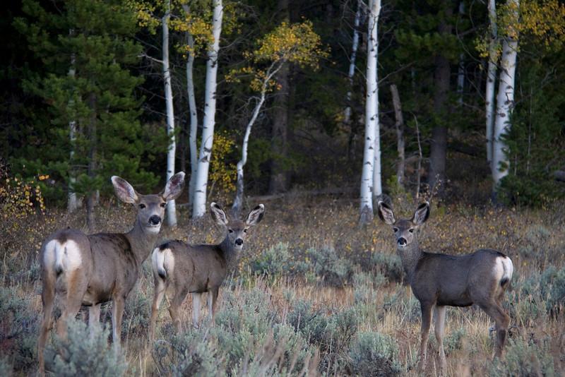 mule deer003.jpg