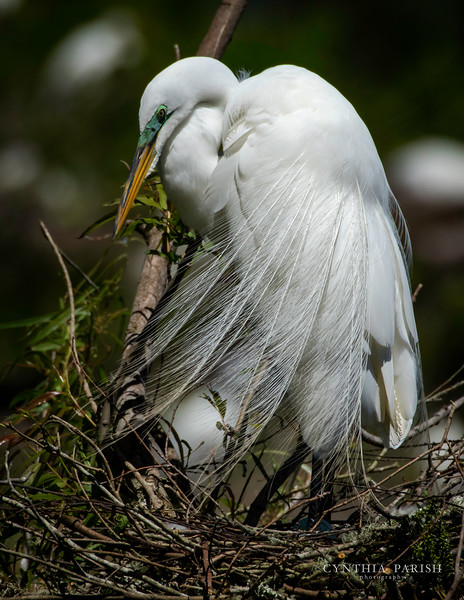 GreatEgret_cpp_664A2931.jpg
