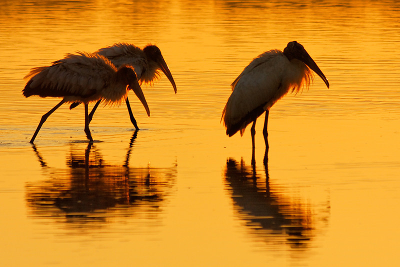 Work Storks - A trio of the endangered birds warms up in the early sunlight