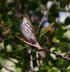 Ovenbird Seiurus aurocapilla