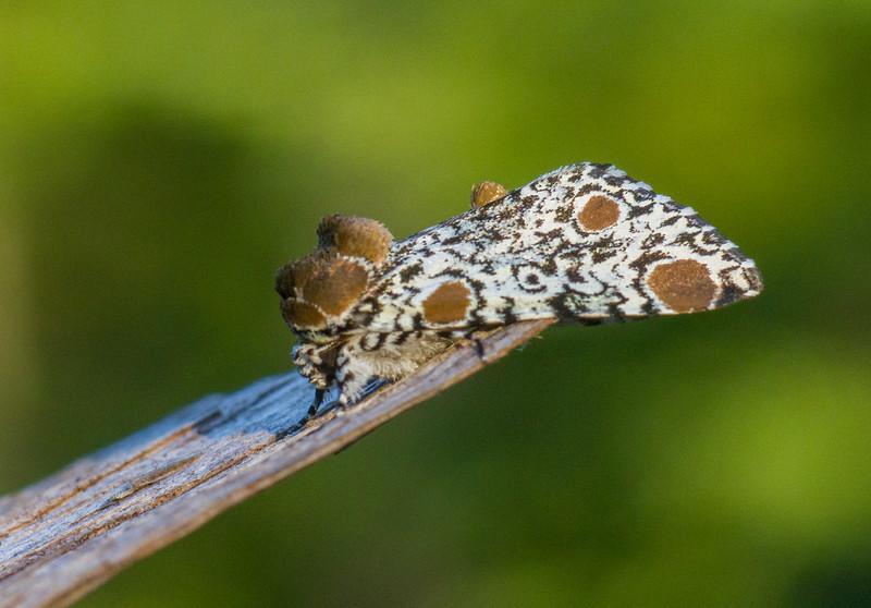 Harrisimemna trisignata Harris's Three-Spot moth 93-1498 9286 Family Noctuidae Skogstjarna Carlton County MN  IMG_0304.jpg