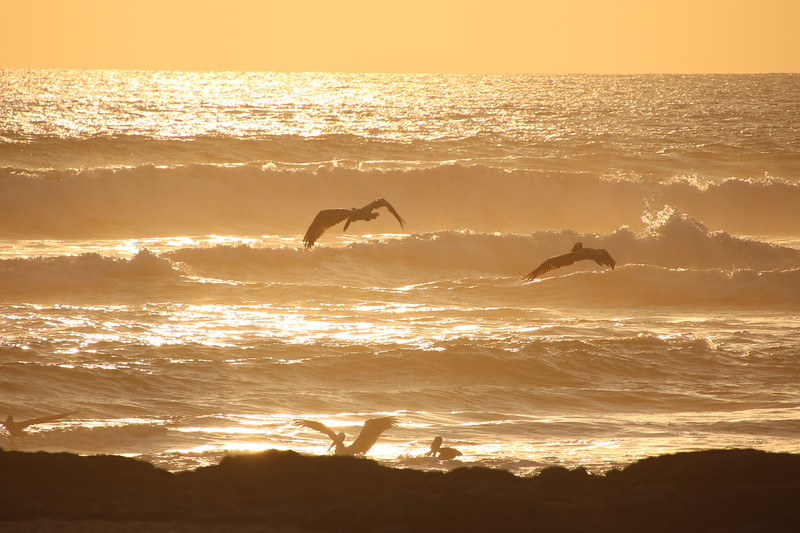 Pelicans at the ocean during sunset