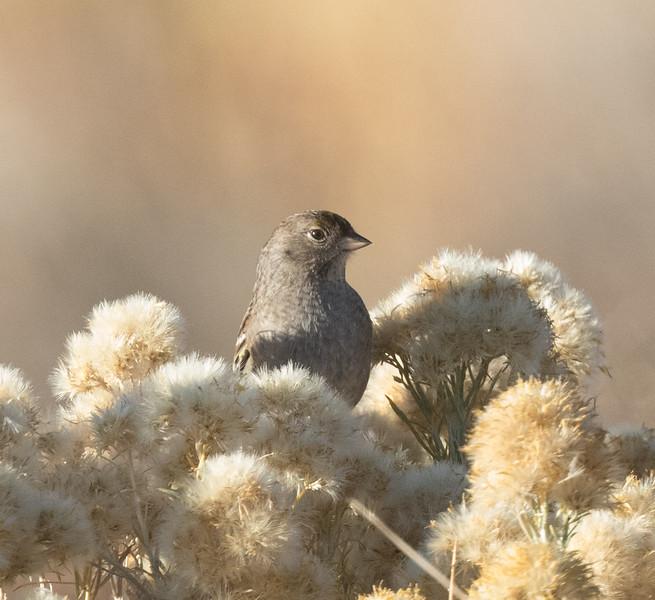 Golden-crowned Sparrow  Lee Vining 2020 10 18-7.CR2