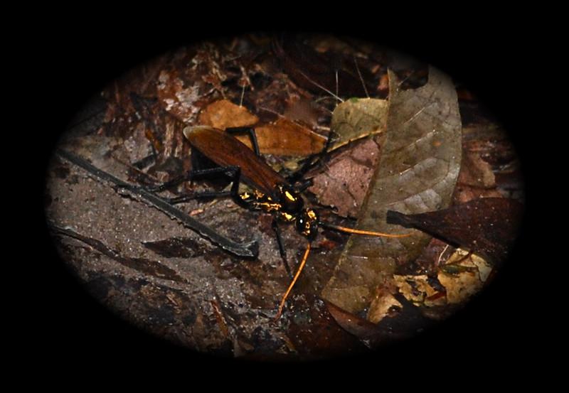 Spider Hunting Wasp - Guyana