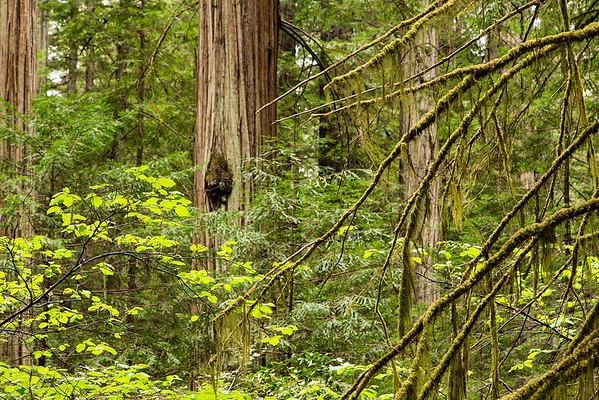 Homestead Trail and Big Tree Trail,  Part 1 - Humboldt Redwoods State Park, May 2, 2015