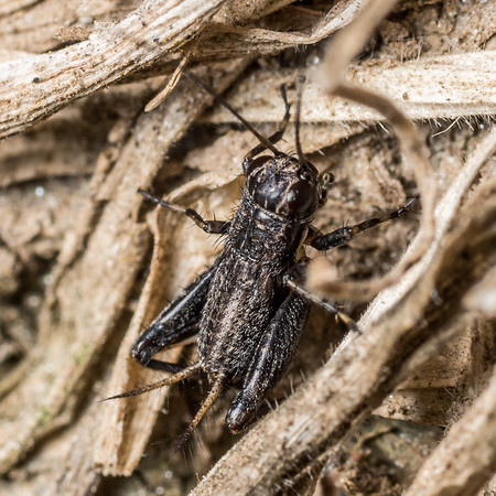 Ground crickets (Trigonidiidae)
