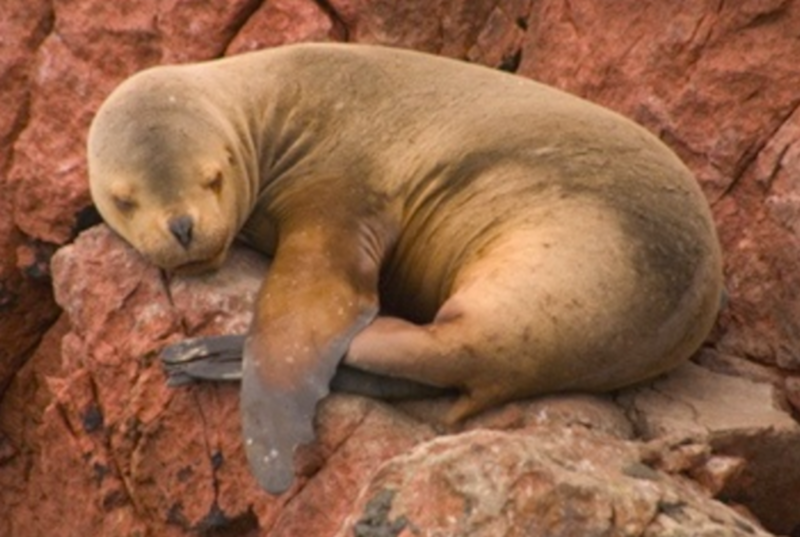 sea lions peru.png