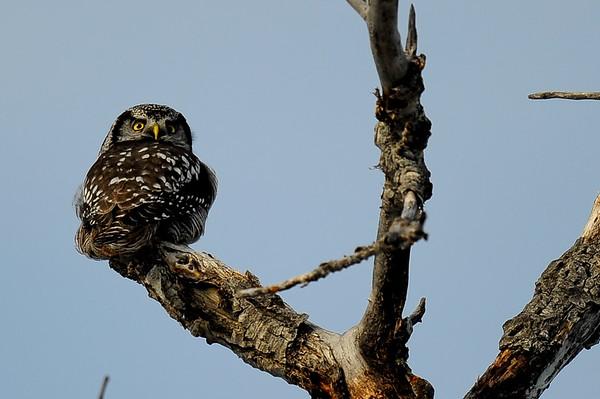 1 2012 Jan 13 Hawk Owl Extravaganza