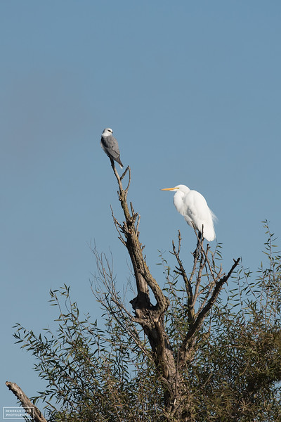 White-tailed Kite and Great Egret