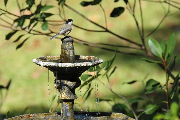 Yard birds in 309RR in Brunswick, Georgia