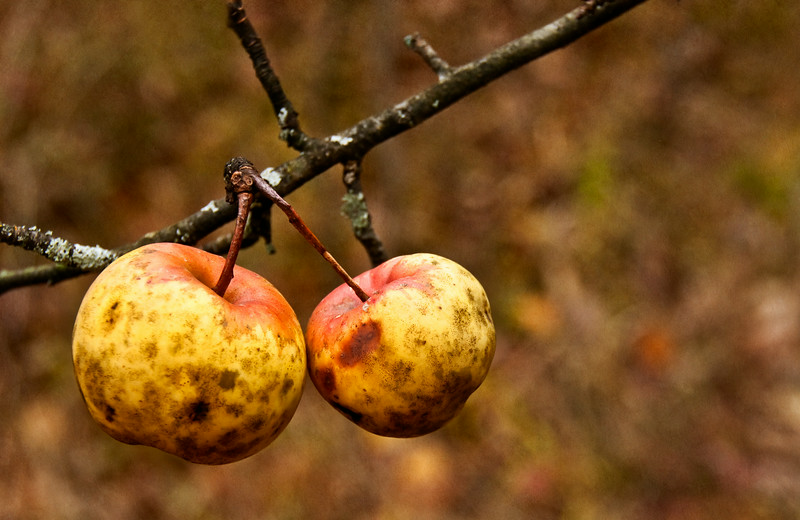 wild apples-ginger tex_ Oct 25-2009_01.jpg
