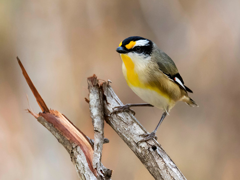 Striated Pardalote_399A3572a2 copy.jpg