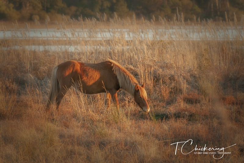 Chincoteague Pony Eleven - Copy.jpg