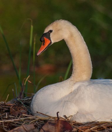 Mute Swan's Nest - April 13, 2014
