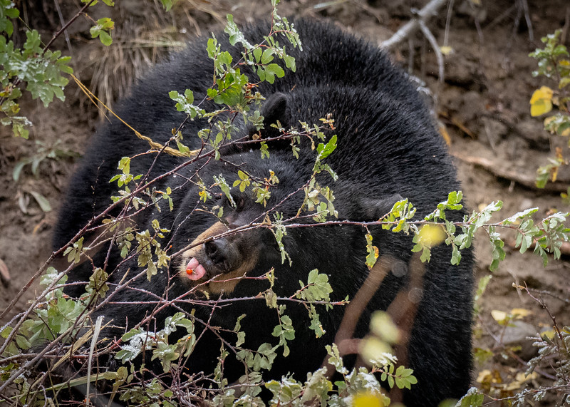 One berry at a time, Black Bear, Yellowstone National Park