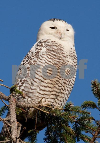 Snowy owl 4501c.jpg