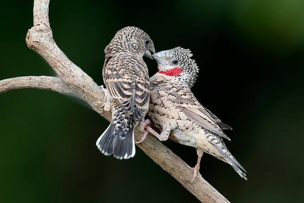 Finch (1 Species)