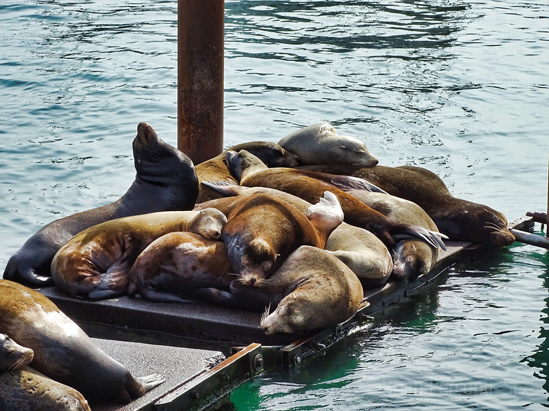 Sea Lions Oregon Coast