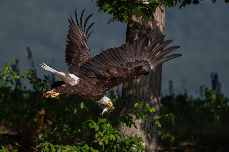 #1430 Bald Eagle