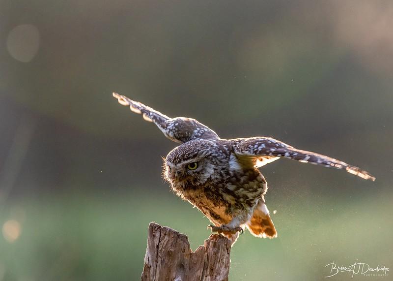 The Little Owl Shoot-6056.jpg