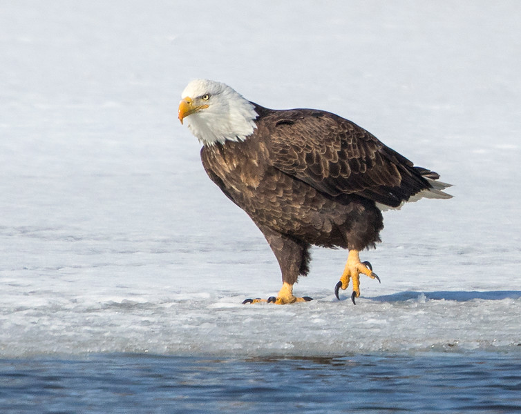 Out for a walk Eagle Red Wing  Mn.