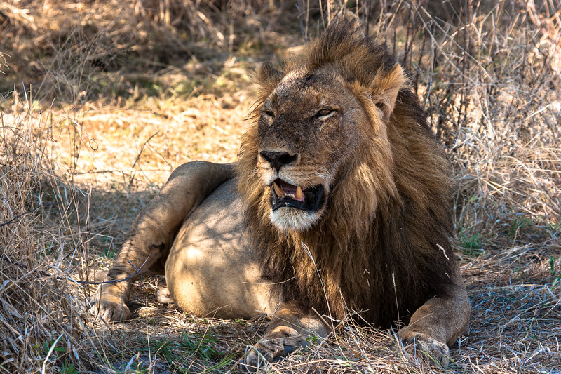 Lion with a full belly resting in the shade