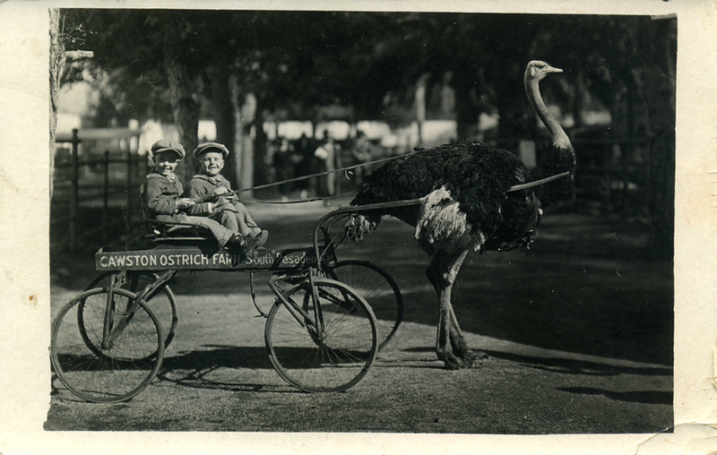 Ostrich Tow Ride