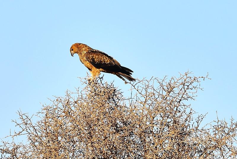 Kite in a bush