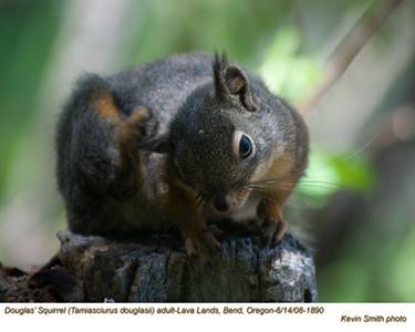 Douglas'Squirrel1890.jpg
