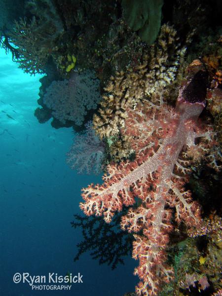 Fiji soft corals 3.jpg