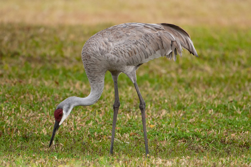 Crane - Sandhill - Kissimmee, FL