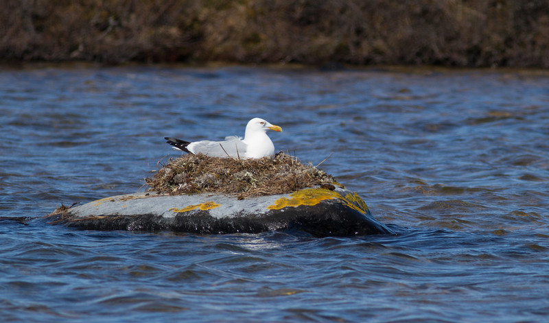 Herring Gull nest Halfway Point Road Churchill Manitoba Canada IMG_1491.jpg