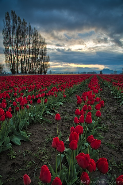 Sunrise - Skagit Valley Tulip Festival