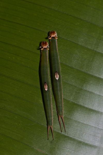 Pair of Caterpillars, exact species unknown