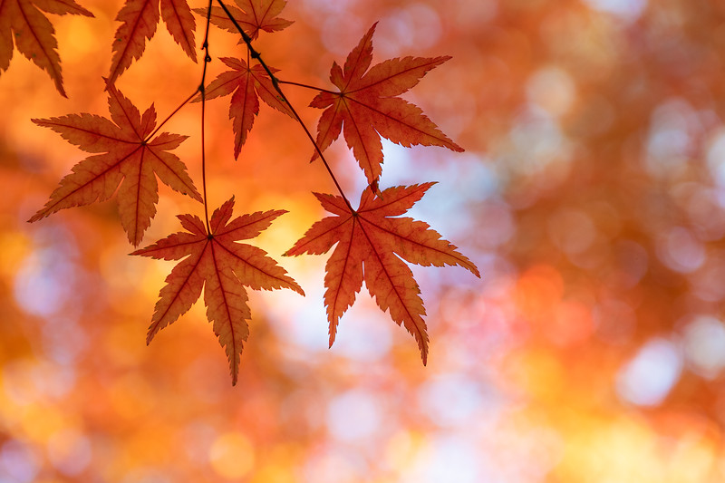 Japanese Garden Maple Leaves