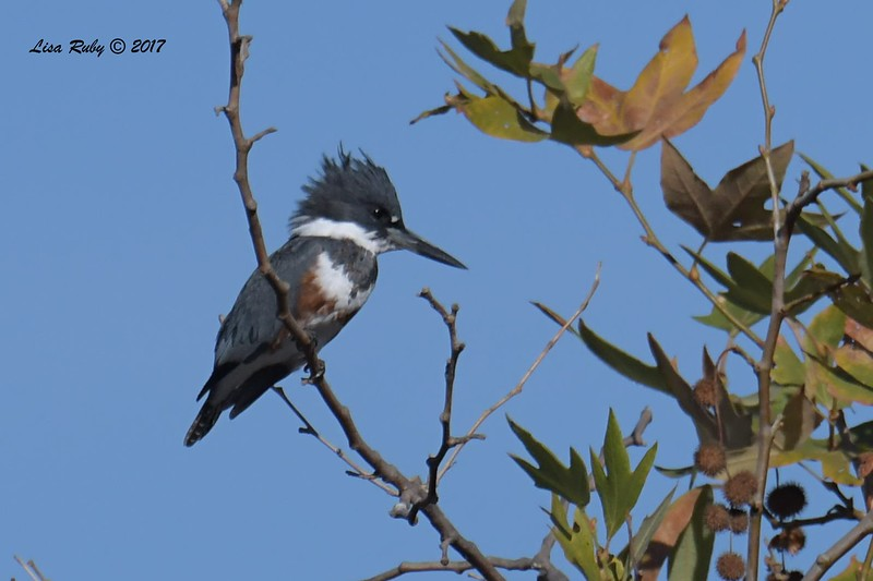 Belted Kingfisher  - 11/10/2017 - Santee Lakes